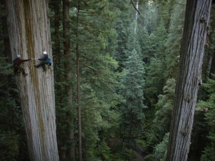 climbing-redwoods